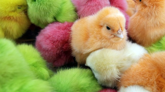 Chicks have long been part of Easter celebrations in many parts of the world. In Lebanon, where the chicks pictured here were found, people traditionally buy colored chicks, dyed with food coloring while they are still in their eggs. Many animal rights activists frown on the coloring, as well as buying chicks as pets for Easter. Chickens can make fantastic pets, but chicks are difficult to raise.