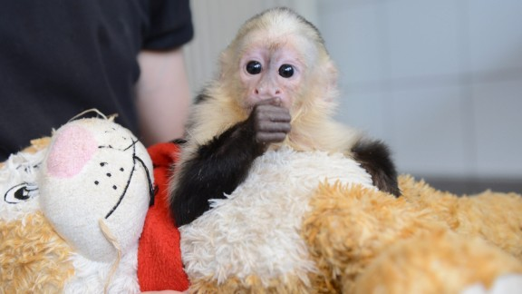 """Bieber lost his pet monkey, Mally, when the capuchin <a href=""""http://www.cnn.com/2013/08/01/world/europe/germany-bieber-monkey/index.html?iref=allsearch"""" target=""""_blank"""">was taken by custom officials in Germany</a> at the end of March 2013. Mally is shown here in the quarantine station at the Munich-Riem animal shelter in Munich."""
