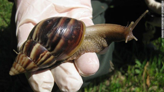 It's real: Attack of the giant African land snails in Florida