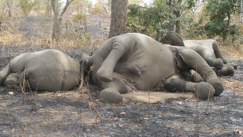 Last year, heavily-armed poachers from Sudan arrived on horseback to the Bouba Ndjida Park in northern Cameroon. They slaughtered more than 300 elephants within a matter of weeks, taking only the tusks.