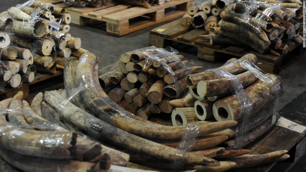 Seized ivory tusks are displayed during a Hong Kong Customs press conference on January 4, 2013. The precious commodity is selling for hundreds, even thousands of dollars per kilogram on the black market.