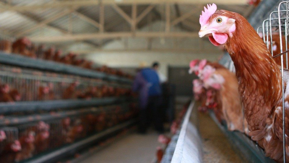 Chickens roost at a poultry farm in Taizhou, China, on Wednesday, April 17.