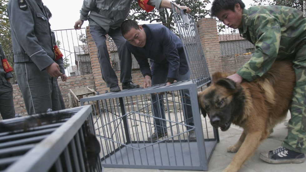 Security guards try to put a Tibetan Mastiff into a cage at an illegal breed farm in Beijing, China. Regulations restricting the size of dogs people could keep in Chinese cities were introduced following an outbreak of rabies in 2006 in which more than 300 people died.