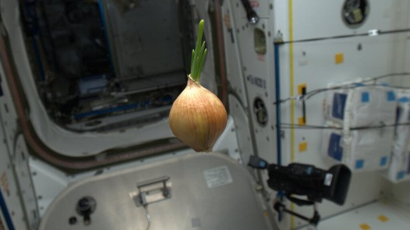 """This floating space onion was photographed on May 2. Hadley wrote that it """"came up on the Progress resupply spaceship. We sliced it up and had it with everything -- nice flavor!"""""""