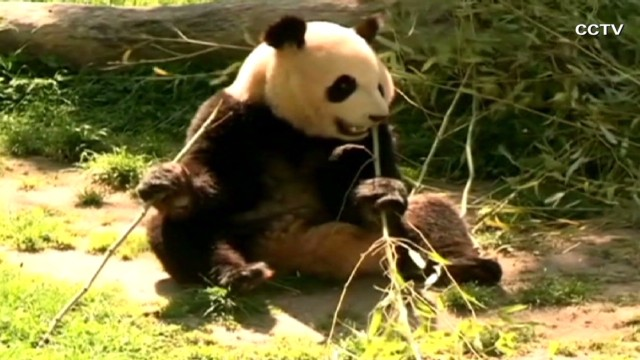Baby pandas enjoy life in China