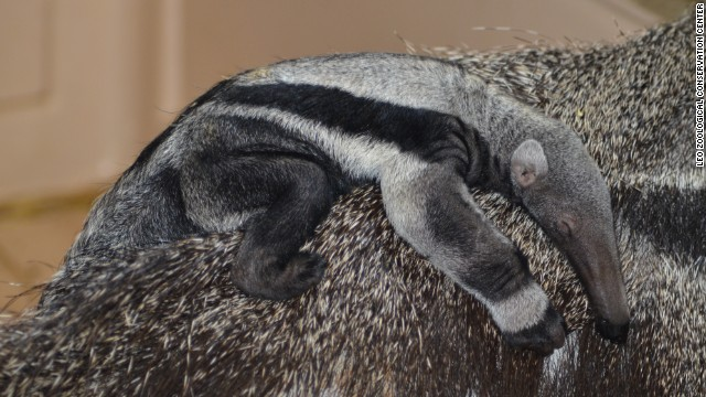 The birth of a baby anteater has zoo staff puzzled, since the adult male and female have been separated for eight months.