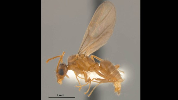 Tawny crazy ants are omnivores that can take over an area by both killing what's there and starving out what they don't kill, said Ed LeBrun, a research associate with the Texas invasive species research program at the Brackenridge Field Laboratory in the College of Natural Sciences.