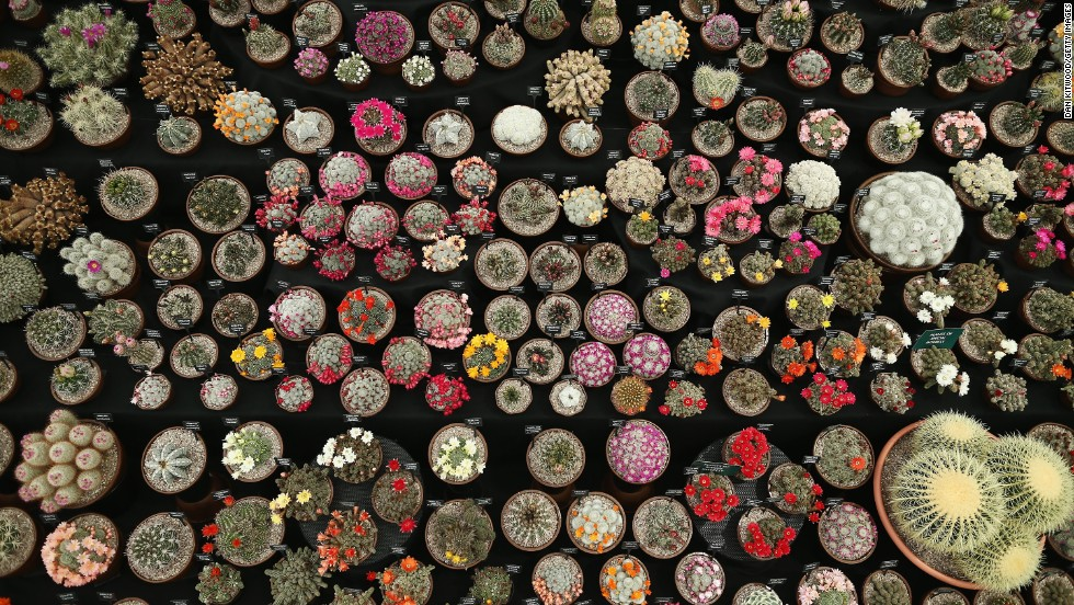 "Cacti are displayed on the ""Southfield Nursery"" stand on the press day at Chelsea Flower Show on May 20, 2013 in London, England."