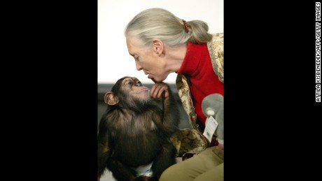 British primatologist Jane Goodall, the world's famous authority on chimpanzees, is kissed by Pola, a young chimpanzee, in Budapest Zoo in December 2004.