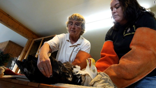 Mona Rutger tends to a bald eagle that was injured by a private jet last year.