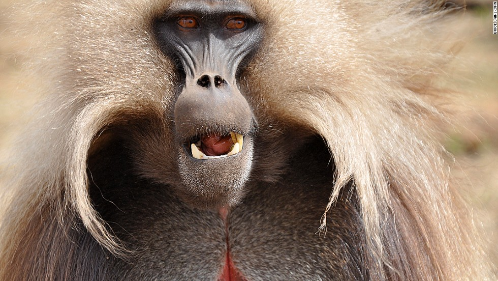 The gelada baboon -- sometimes known as the bleeding heart monkey for the red structure on its chest -- moves around the Simien mountains in groups of 800 or more. Its harem structure is one of the most complicated in the animal kingdom.