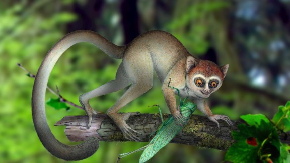 The oldest primate skeleton to date was found. It belonged to a species named Archicebus achilles, which lived 55 million years ago (illustration pictured). In modern times, we learned about a cute new species of mammal: The olinguito.