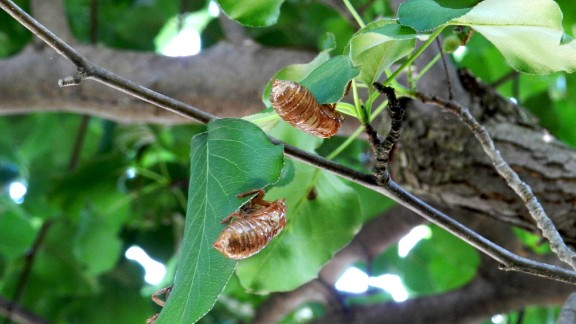 """Yes, the Brood II cicadas are back after 17 years. Janie Lambert of Hughesville, Maryland, recalls the noise cicadas made when she was at Andrews Air Force Base in 1996. Sometimes, she says, they were louder than Air Force One. In 2013, she ventured out into St. Mary's County with her daughter Jessie and took several photos, as well as a video. """"We started hearing the hum around the 10th of May, by the 15th,"""" she said. """"They were all over the county and very, very loud, like a gas saw."""" Her family has seen its own new generation pop up since the last time she heard that buzz -- just like the cicadas."""