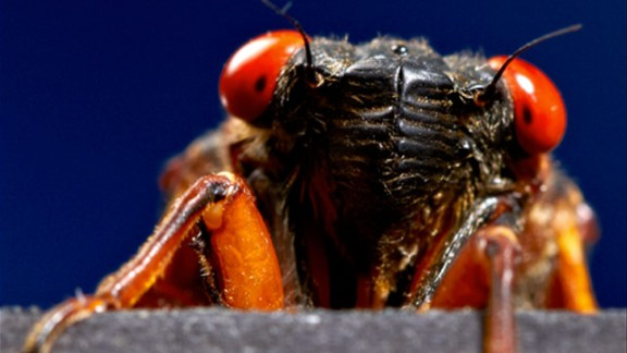 Photographer George Schaller snapped this up-close photo of a cicada in a studio in Wayne, New Jersey. Brood II, the variety being seen this year, was last spotted in 1996. (See cicadas on a map) Many things have changed since then, and some bugs got famous. Click through the gallery to see flying and crawling creatures that the 17-year cicadas might have missed.