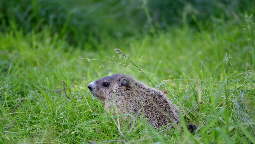 A groundhog is seen along the sixth fairway on June 15.