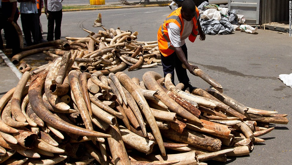 A Kenya Ports Authority employee weighs  ivory tusks seized by officials on January 21, 2013, in Mombasa. The value of the  638 illegal tusks was estimated at $1.5 million.