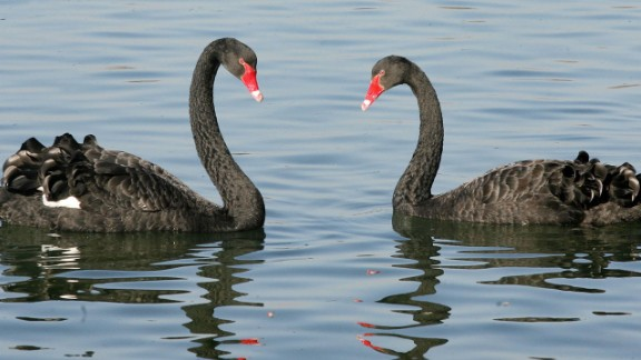 Swans -- symbols of love and fidelity -- are not monogamous.