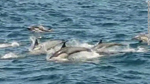 Watch a dolphin 'megapod' in California
