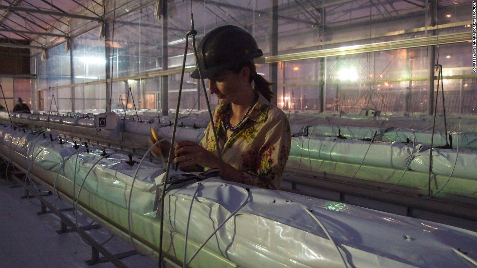 Virginia Corless, the science and development manager, working in the greenhouse. She says Qatar's environment acts as a harsh testing ground for the technologies.