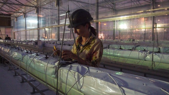 Virginia Corless, the science and development manager, working in the greenhouse. She says Qatar
