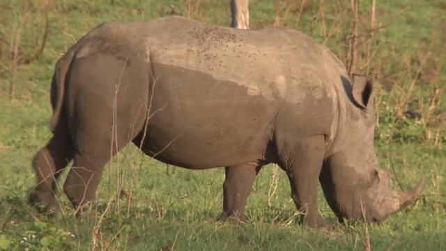 Can the rhino be saved?