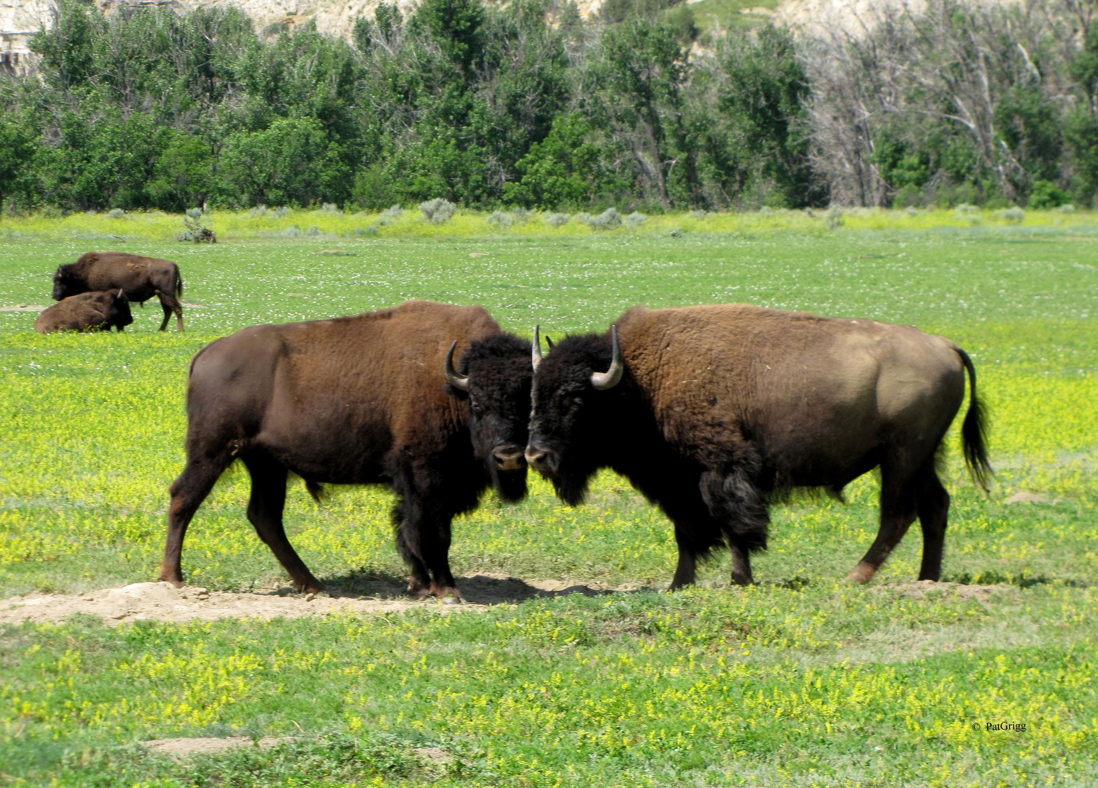 spirit of the american bison lives in teddy roosevelt national park cnn travel