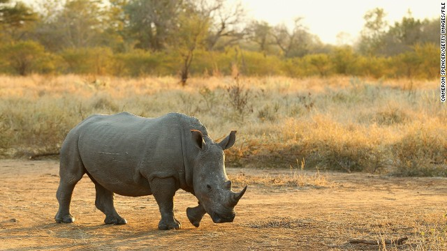 A rhinoceros walks on July 20, 2010 in the Edeni Game Reserve, South Africa. Edeni is a 21,000 acre wilderness area with an abundance of game and birdlife located near Kruger National Park in South Africa.