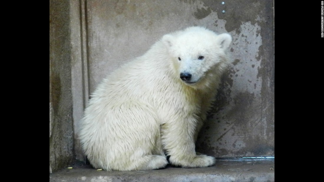 "After an adult female polar bear was shot in Alaska in March 2013, her orphaned cub was rescued by the U.S. Fish and Wildlife Service and placed in the temporary care of the Alaska Zoo. In May 2013, the cub, named Kali, was transported to the <a href=""http://www.buffalozoo.org"" target=""_blank"">Buffalo Zoo</a> in upstate New York. He moved to his permanent home at the <a href=""http://www.stlzoo.org/animals/abouttheanimals/mammals/carnivores/polar-bear/kali/"" target=""_blank"">St. Louis Zoo in May 2015. </a>Click through the gallery to see more adorable animals around the world."