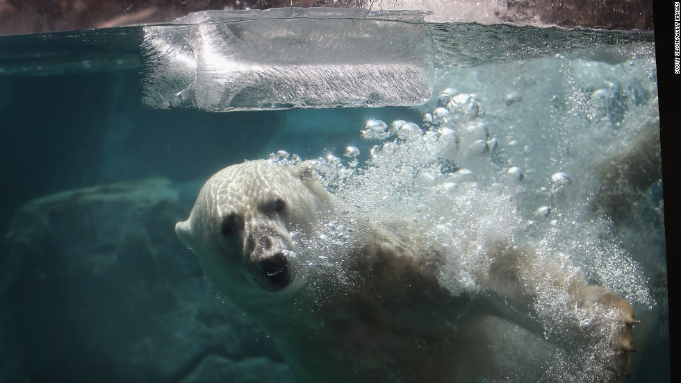 Hudson the polar bear plays with a block of ice to cool down at the Brookfield Zoo during a massive heat wave on Thursday, July 18, in Brookfield, Illinois.