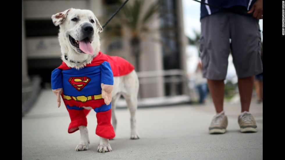 Beckham the dog enjoys the sights and sounds dressed in a Superman costume on July 19.