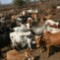 maasai leader cattle milk