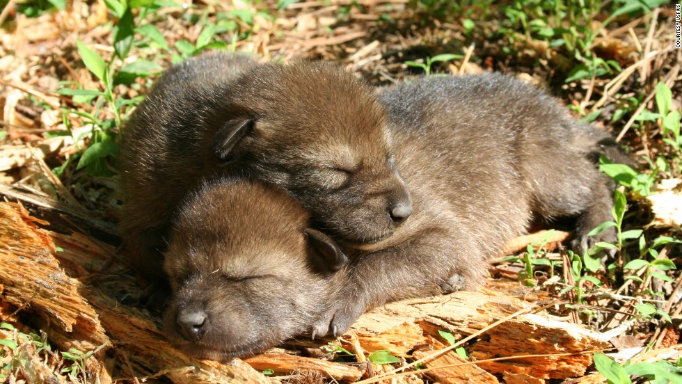 There are an estimated 110 to 120 red wolves left, according to the Red Wolf Recovery Program.