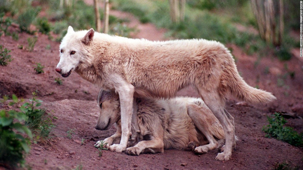 Residents of the Mission: Wolf sanctuary in Silver Cliff, Colorado, on June 18, 1998. The sanctuary takes in wolves and wolf/dog hybirds.
