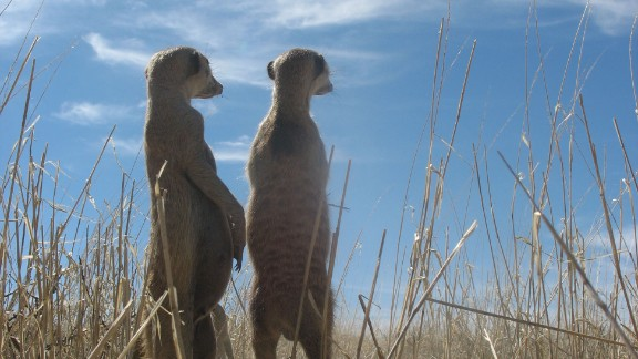 Meerkats can form single, life-long mated pairs, scientists say.
