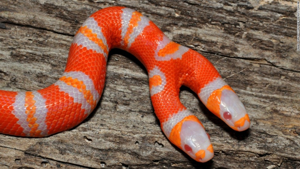 This Honduran milk snake is albino as well as double-headed. Albino milk snakes appear in bright shades of red, orange and white.