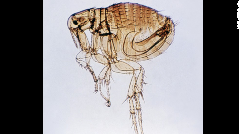 Fleas often cause allergic reactions on a dog's skin. If a dog swallows a flea, they can develop tapeworms.