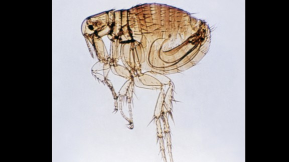Fleas often cause allergic reactions on a dog
