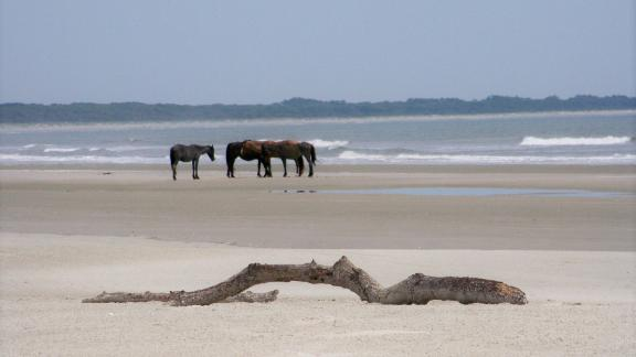 The horses on Cumberland Island are feral, wild animals and aren't managed by the National Park Service. They can sometimes be spotted around the Dungeness ruins area. Visitors should keep a safe distance and not feed, water or bother them.