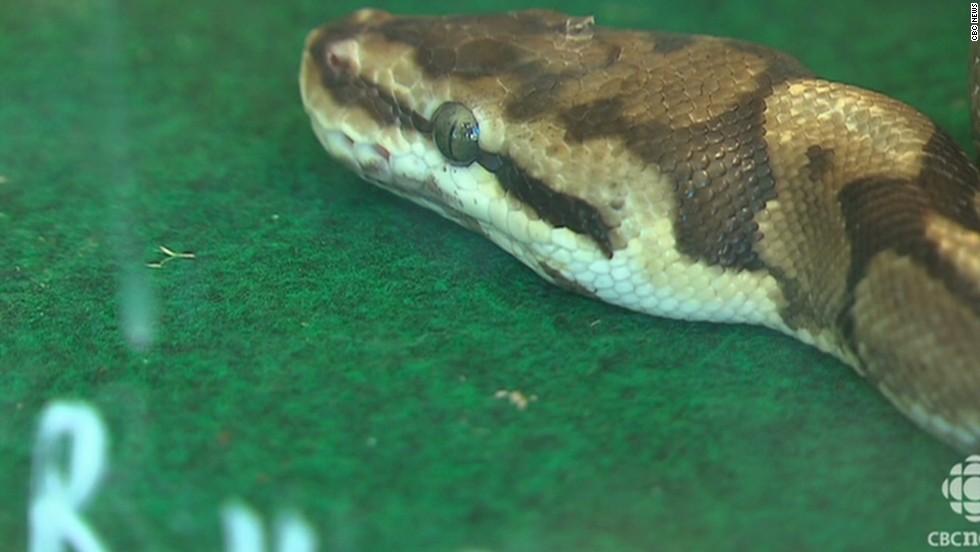 Escaped python strangles sleeping boys