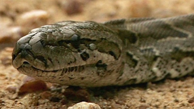 ac jeff corwin on reported python attack_00001823.jpg
