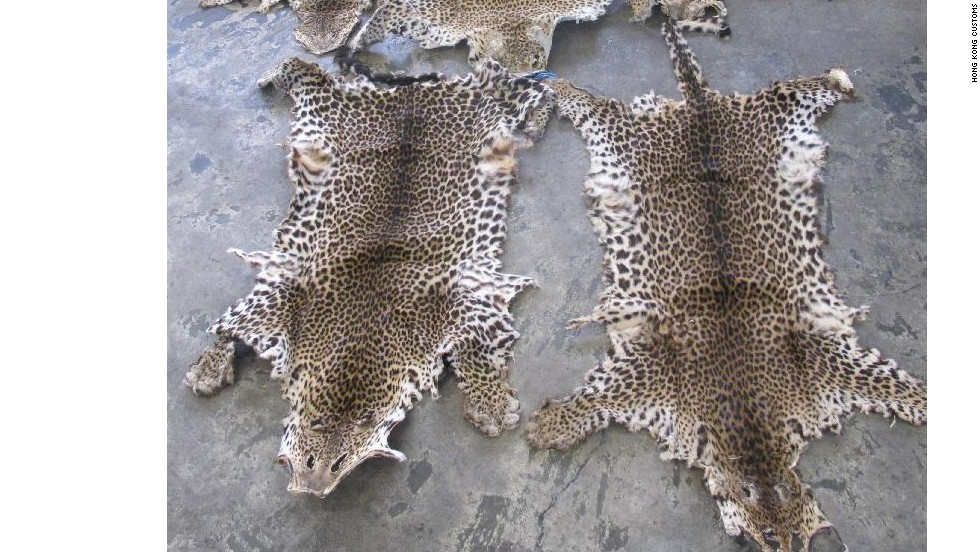 In Hong Kong's August 6 animal goods seizure, customs officials seized five leopard pelts in addition to more than 1,000 ivory tusks and rhino horns.