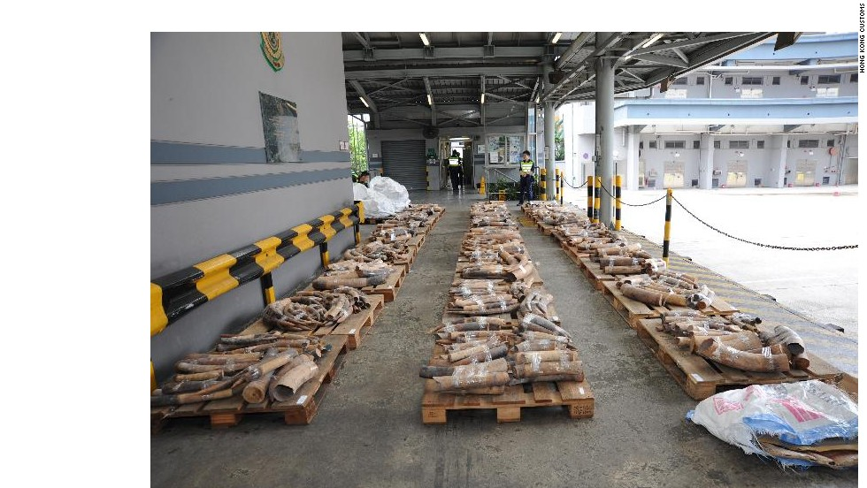 A wide shot of the nearly 1,200 ivory tusks seized by Hong Kong customs on July 19, 2013.