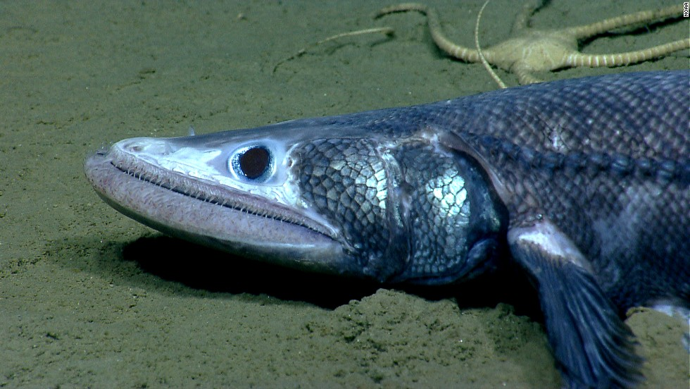 A bathysaurus was spotted in Veatch Canyon. These fish use their lower jaw to scoop up sand and filter out food.