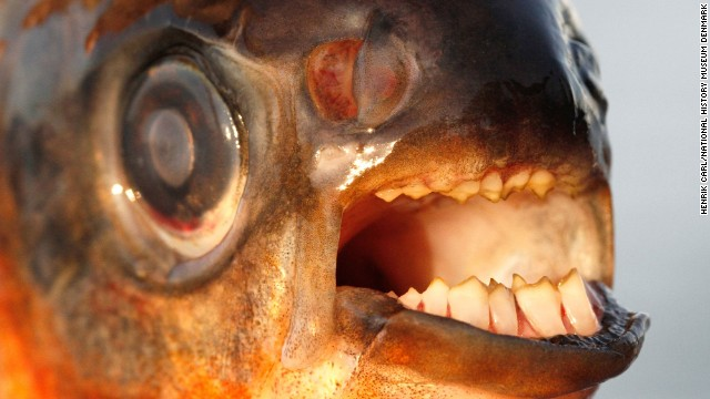 Pacus have teeth that resemble human molars and fit together in a similar bit.