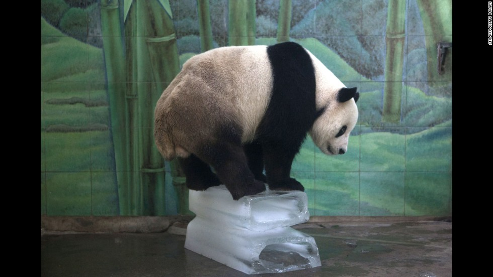 A giant panda stands on top of blocks of ice to cool off at the Wuhan Zoo in Wuhan, China, on Wednesday, August 7.