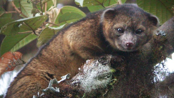 The olinguito (Bassaricyon neblina) is the first mammalian carnivore species to be discovered in the Americas in 35 years, scientists at the Smithsonian Institution in Washington said.