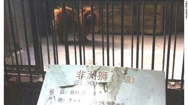 Zoo in China substitutes dog for lion