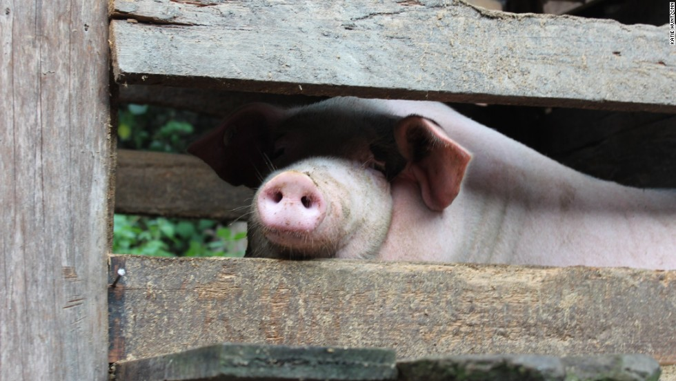 In addition to growing rice and vegetables, many families raise pigs.