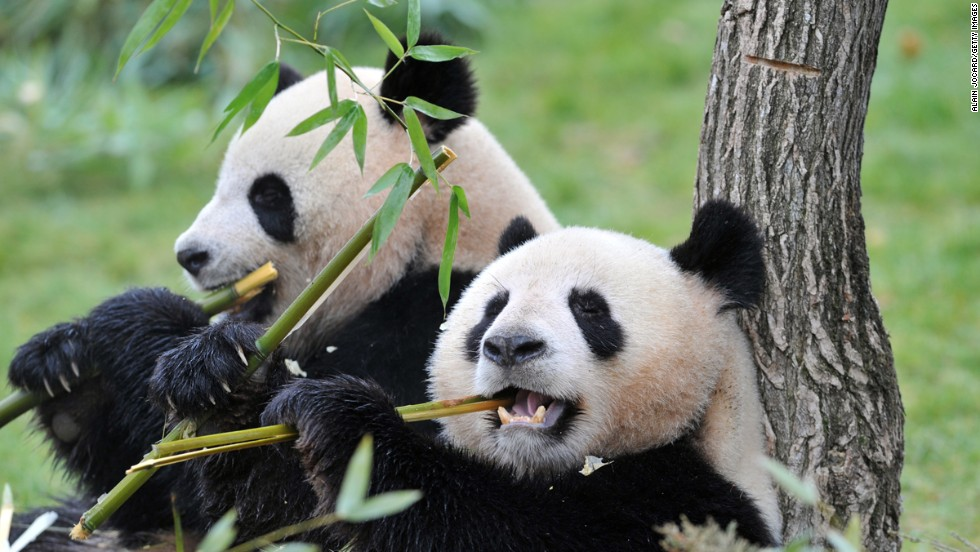 Efforts to boost the numbers of giant pandas in recent decades have been successful.