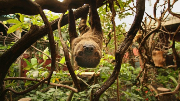 Sloths live most of their life in the trees -- mating, birthing and even dying up there.